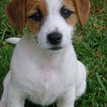 caine Jack Russell Terrier puiut