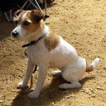 caine Jack Russell Terrier alb cu maro