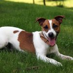 caine Jack Russell Terrier culcat in iarba