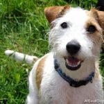 caine Jack Russell Terrier cu zgarda