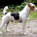 caine Jack Russell Terrier in padure