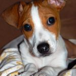 caine Jack Russell Terrier cuminte