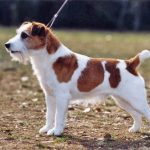 caine Jack Russell Terrier in lesa