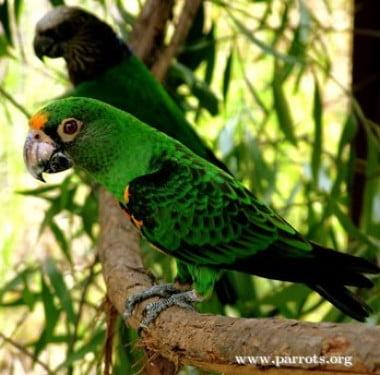 Papagalul Jardine