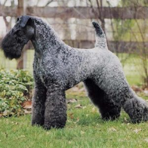 caine Kerry Blue Terrier