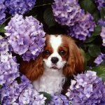 King Charles Spaniel catel in flori de liliac