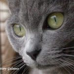 Korat pisica ochi verzi