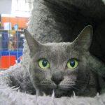 Korat pisica la culcus