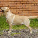 caine Labrador