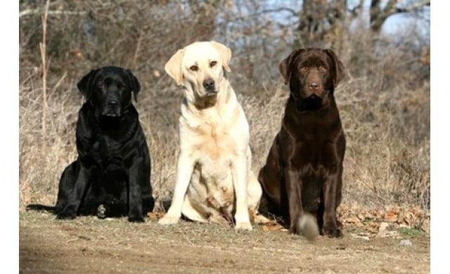 Poze caine Labrador