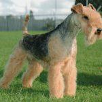 caine Lakeland Terrier