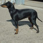 caine Manchester Terrier