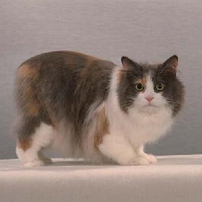 Pisica Manx