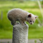 Manx pisic mic gri