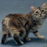 Manx pisica tigrata cu spatele