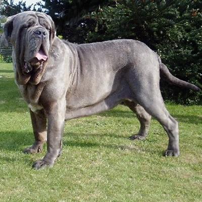Mastiff Neapolitan
