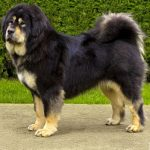 caine Mastiff Tibetan
