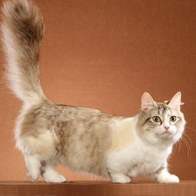 Pisica Munchkin