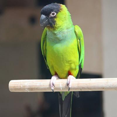 Papagalul Nanday