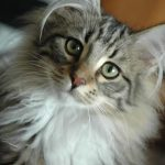 Norvegiana de padure pisica atenta