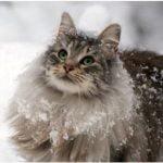 Norvegiana de padure pisica in zapada
