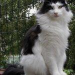 Norvegiana de padure pisica dulce
