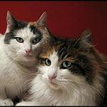 Norvegiana de padure pisica cu puiul