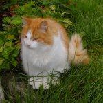 Norvegiana de padure pisica in curte