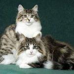Norvegiana de padure pisici mici