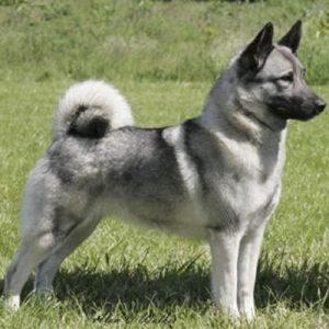 caine Elkhound Norvegian