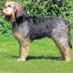 caine Otterhound