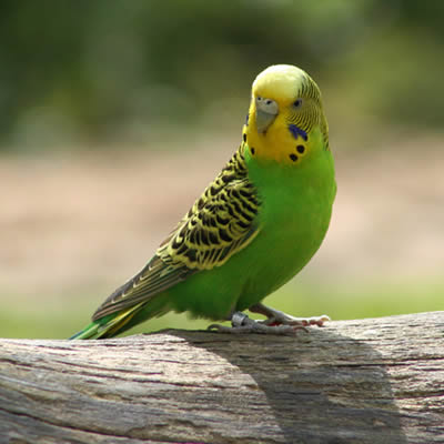 Papagalul Perusi