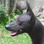 caine Peruvian Hairless negru