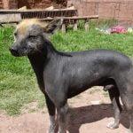caine Peruvian Hairless cu par pe cap