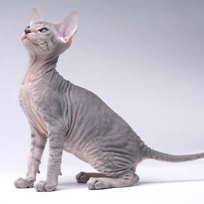 Pisica Peterbald