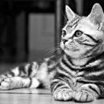 pisica-american-shorthair-alb-negru