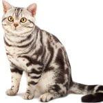 pisica-american-shorthair-cu-ochi-portocalii