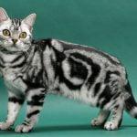 pisica-american-shorthair-gri-cu-negru