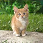 pisica-american-shorthair-pui-alb-portocaliu