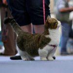 pisica-munchkin-in-lesa