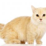 pisica-munchkin-portocalie