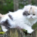 pisica-munchkin-pui-pe-gard