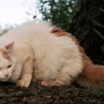 pisica-turkish-van-in-copac