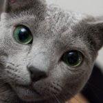 pisica-albastru-de-rusia-cu-ochi-verzi