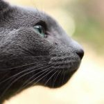 pisica-albastru-de-rusia-din-lateral