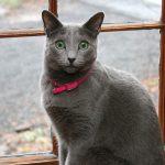 pisica-albastru-de-rusia-femela-cu-zgarda-roz