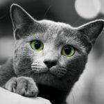 pisica-albastru-de-rusia-la-vanatoare