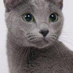 pisica-albastru-de-rusia-poza