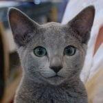 pisica-albastru-de-rusia-poza-pui