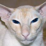 Pisica-colorpoint-shorthair-cu-ochi-albastri